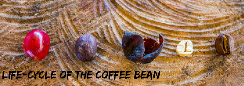 Life-cycle of the coffee bean
