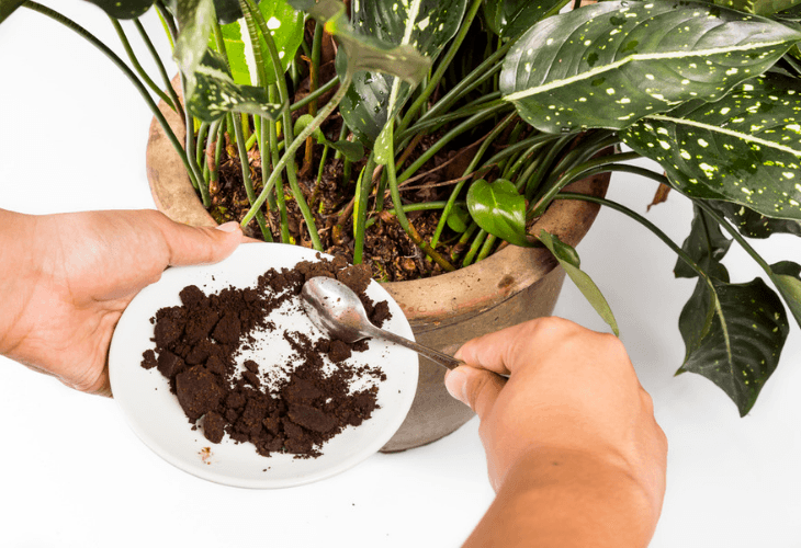 Spent ground coffee applied into a potted plant as natural fertilizer