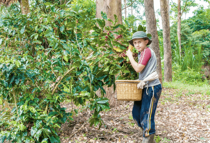 Young boy picking coffee cherries