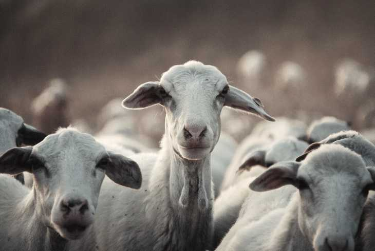 Wide eyed goats after eating coffee beans